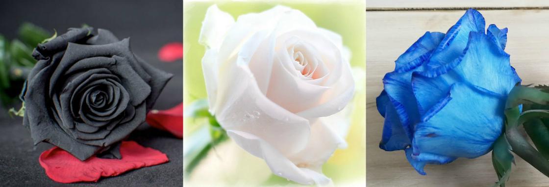 Сколько цветов и оттенков роз существует
