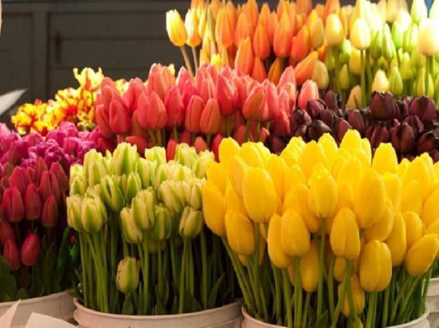 Тюльпаны в оранжерее