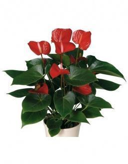 Антуриум (Anthurium Red small) | Антуриумы